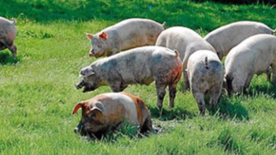 Galardón internacional al jamón de castañas de Coren